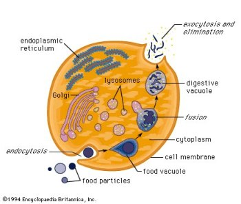 Diagram Of Cytoplasm